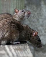 Rat Traps, Baits & Deterrents